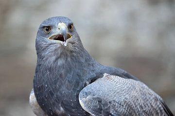 Aguja ( Geranoaetus melanoleucus ), Blauwe Buizerd, Cordilleran Eagle, krachtige roofvogel uit de An van wunderbare Erde