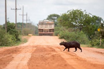 Capybara beim Überqueren der Transpantaneira von Thijs van den Burg