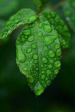 Waterdruppels op een rozenblaadje in de regen van Ulrike Leone