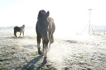 Naderend paard bij opkomende zon van Robert van Nieuwaal