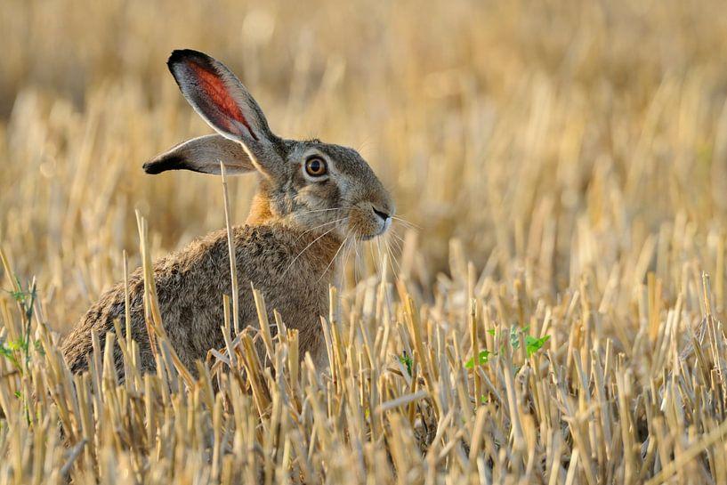 European Hare * Lepus europaeus * sitting in a stubble field van wunderbare Erde