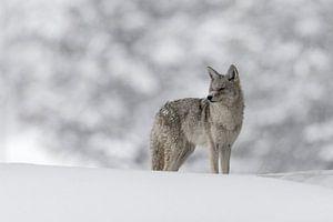 Kojote ( Canis latrans ), in tief verschneitem, natürlichen Umfeld, wildlife, Yellowstone, USA.