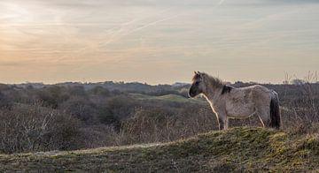 Konikpaard op een duintop van Marcel Klootwijk