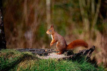 Rode eekhoorn op de uitkijk van Robin Scholte