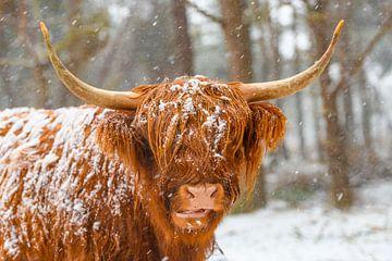 Portret van de Schotse koe van het Hooglander in de sneeuw van Sjoerd van der Wal
