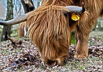 Schotse hooglander een echte grazer. van Ton Tolboom