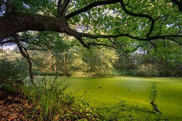 Groen bosmeertje  met een overhangende boom von Michel Knikker