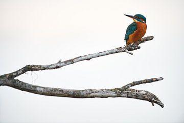 IJsvogel in de mist van IJsvogels.nl - Corné van Oosterhout