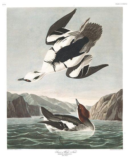 Nonnetje van Birds of America