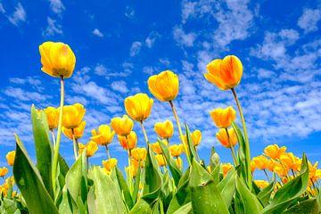 Tulpen in een veld tijdens een mooie lentedag van Sjoerd van der Wal