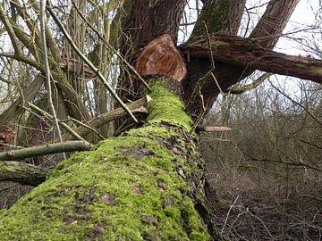 Afgebroken boomstam bedekt met mos na herfststorm von Ingrid Van Maurik