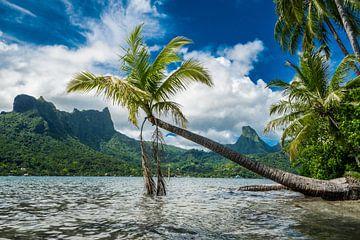 Idyllisch overhangende palmboom in Cooks Bay op Moorea van Ralf van de Veerdonk