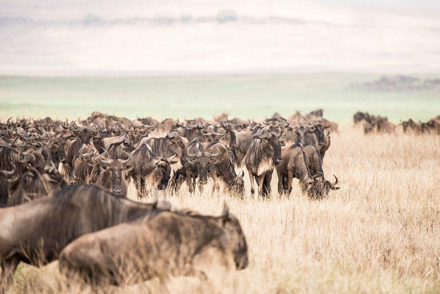 Kudde gnoes tijdens migratie van Tom van de Water