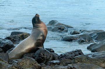 Galápagoszeeleeuw von Maarten Verhees