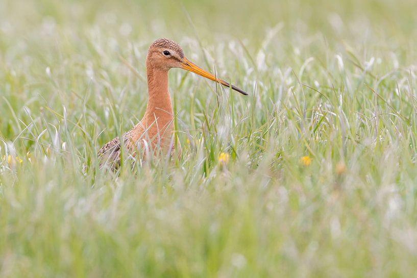 Een Grutto in het gras van Erik Veldkamp