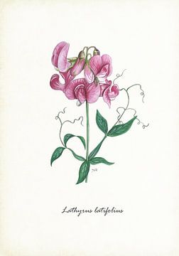 Breites Lathyrus von Jasper de Ruiter