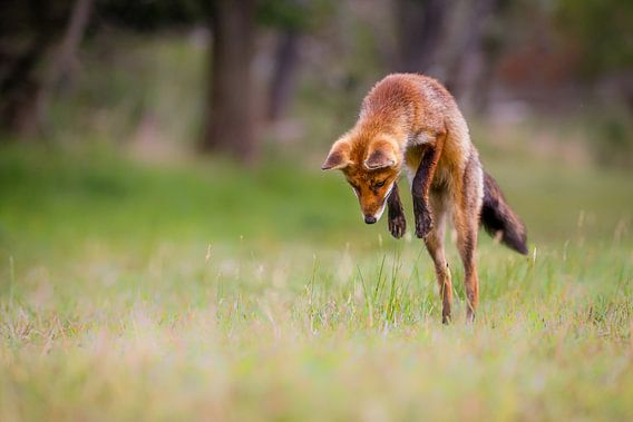 Jumping Fox van Pim Leijen