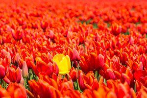 Hollandsche tulpen van