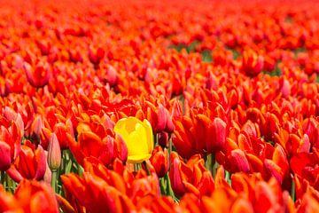 Tulipes hollandaises sur Pia Van Hemmen