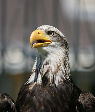 american sea eagle sur