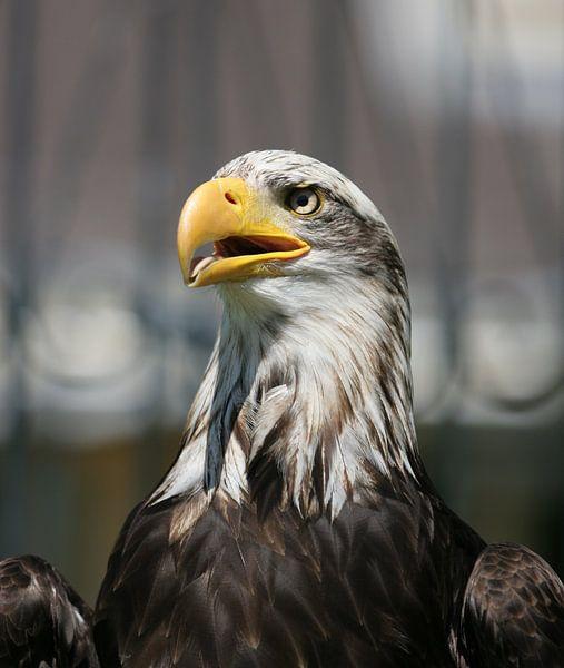 american sea eagle van Rick Nijman