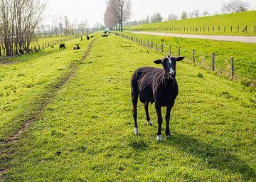 Frisch rasierte schwarze Schafe in niederländischer Landschaft von Ruud Morijn
