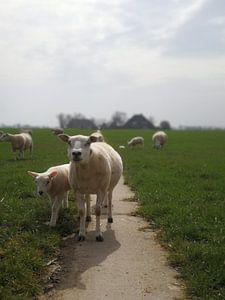 Schaf von It Alders Erf