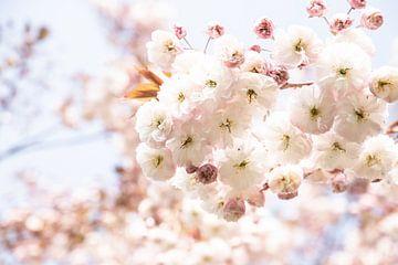 Zarte Flaumblüte   Frühlingswetter   In Sittard von Wendy Boon
