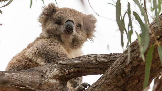Koala op Raymond Island, Australie van Chris van Kan