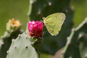 Zitronenfalter auf einer Kaktusblüte von gea strucks