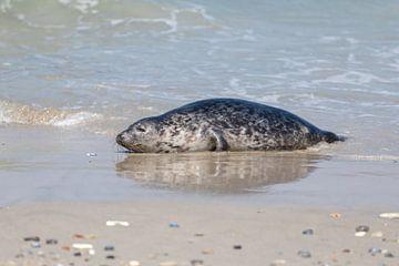 Zeehond van Hannie Heere