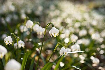 Märzenbecher im Frühling von Jiri Viehmann