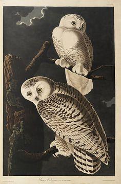 Schneeeule - Teylers Edition - Vögel Amerikas, John James Audubon von Teylers Museum