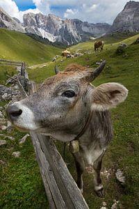 zuid-Tirol Koe op het weiland van Martina Weidner