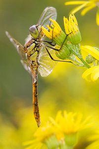 Steenrode Heidelibel op bloem