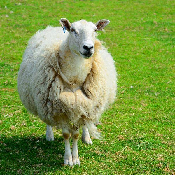 Juste des moutons ;-) sur Gisela Scheffbuch