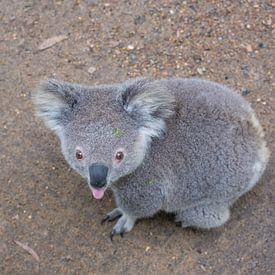 De koala steekt z'n tong naar je uit van Erwin Blekkenhorst