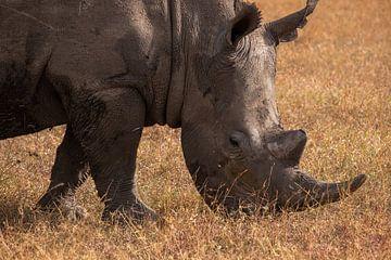 Neushoor in Ol Pejeta, Kenia sur Andy Troy
