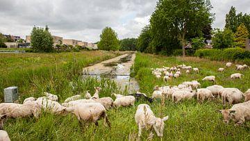 Schapen in het gras van Christian Traets