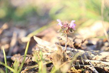 Lila Blumen rufen den Frühling in den Garten von Hannelore