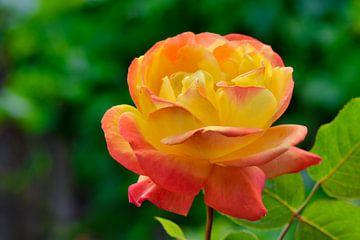 Geel en rose  een aparte natuur combinatie van J..M de Jong-Jansen
