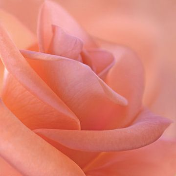 roos van Violetta Honkisz