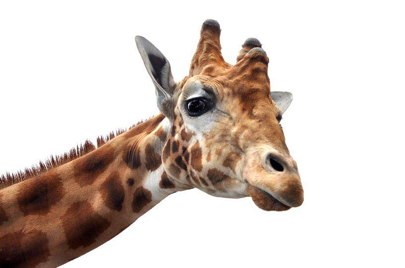 Nieuwsgierige giraf  van Peter Mooij