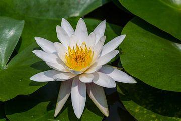 Witte Lotus van Peter Leenen