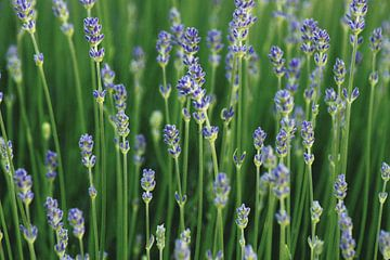 Lavendel Wald von Niek Traas