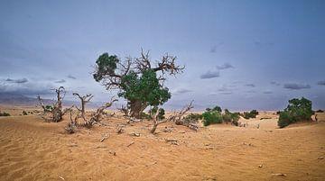 De Euphrates Populier in dorre Taklamakan Woestijn van