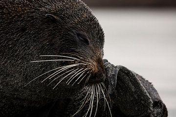 Close-up van een pelsrob op Wharariki Beach, Nieuw-Zeeland van Martijn Smeets
