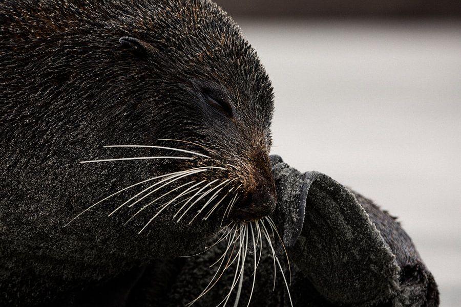Close-up van een pelsrob op Wharariki Beach, Nieuw-Zeeland