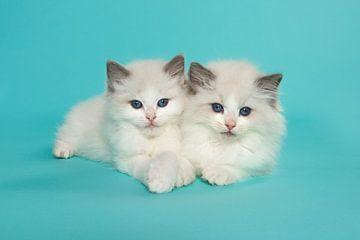 Zwei ragdoll Kätzchen liegen zusammen gegen einen türkisblauen Hintergrund von Elles Rijsdijk