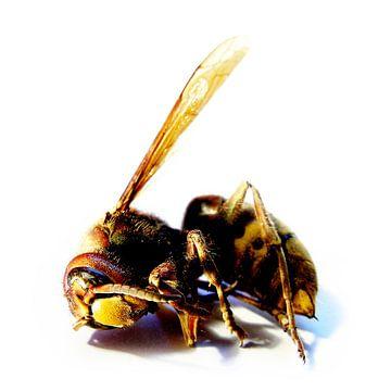 Een overleden hoornaar. van André Mesker